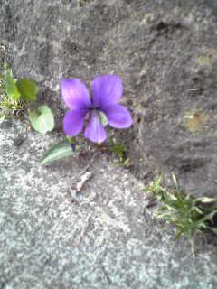 スミレがぽつんと咲いていた