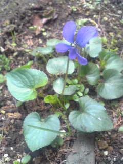 庭に咲いたスミレ