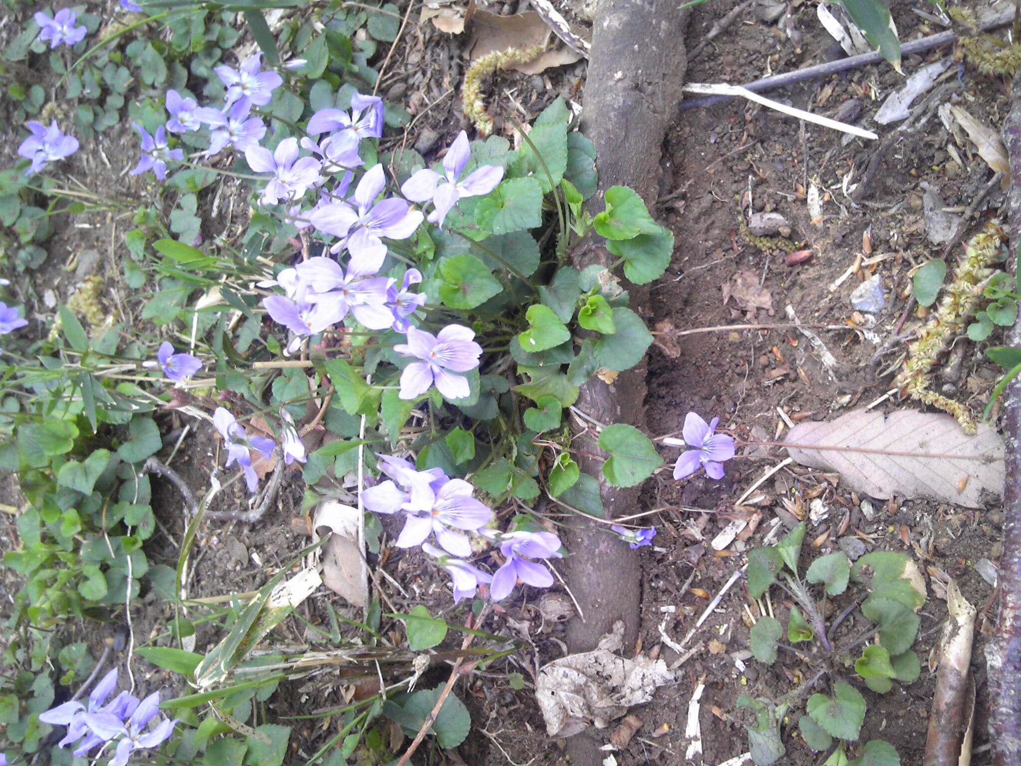 散歩してたら今年もスミレが咲いていた