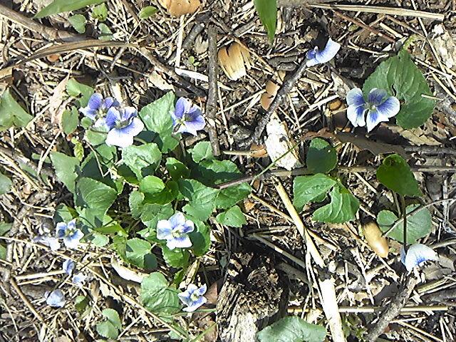 森の中で咲くスミレ